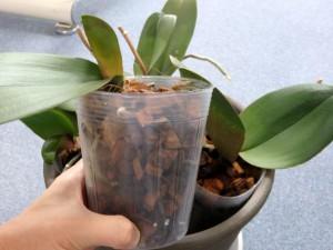 胡蝶蘭の植え替えバーク透明ポリポット