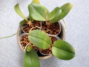 胡蝶蘭の植え替えバークにて