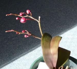 胡蝶蘭花芽ふくらんできました。