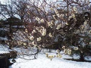 梅と雪の画像