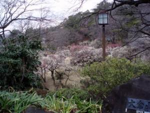 大倉山公園梅林20150303 (2)