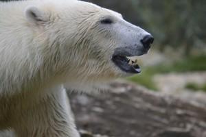 polar-bear-1208344_1920