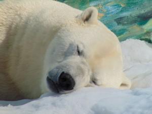 polar-bear-2112248_1920