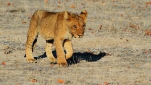 lion-1305797_1920